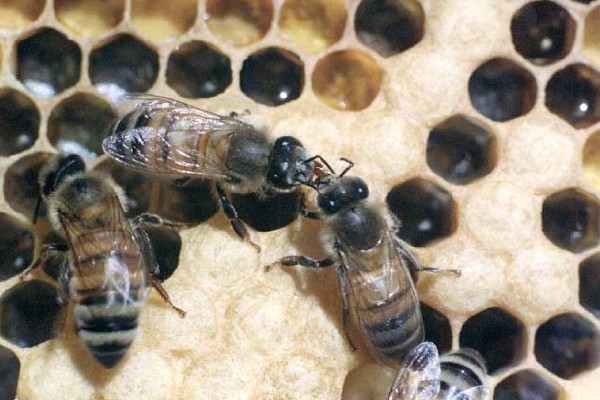Hymenoptera_Apidae_Honey Bees