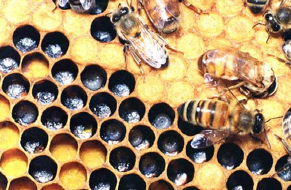 Hymenoptera_Apidae_Honey bees and hive