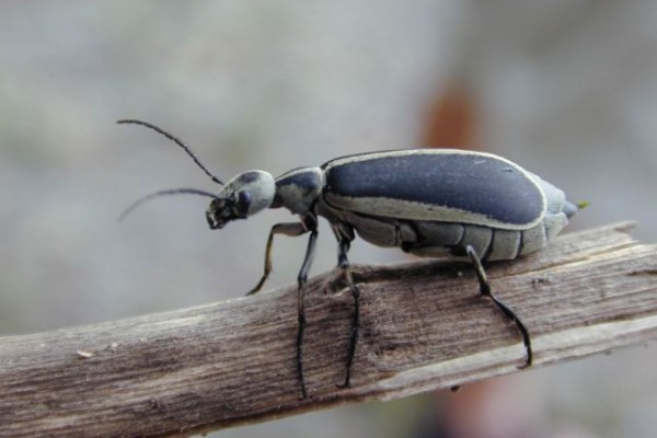 Coleoptera_Meloidae_Margined blister beetle