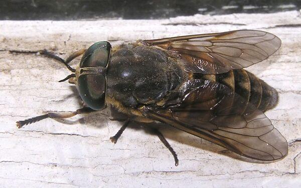 Diptera_Tabanidae_Horse fly