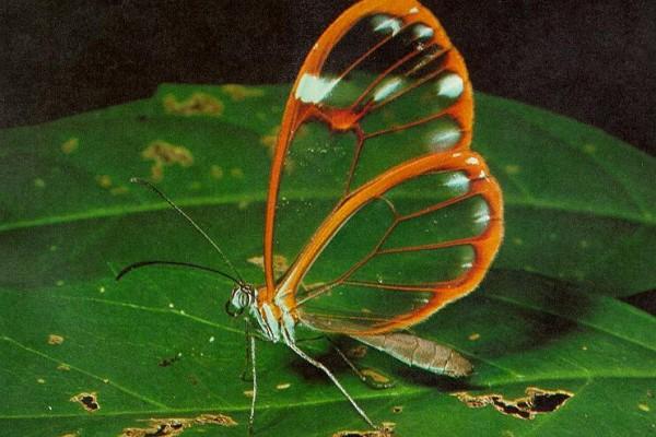 Lepidoptera_NymphalidaeGreta_Glasswing butterfly