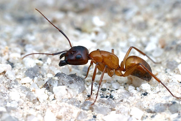 Hymenoptera_Formicidae_Ant