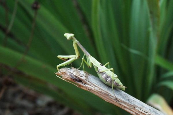 Mantodea_Mantidae_Carolina mantid