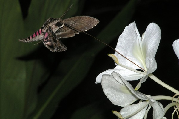 Lepidoptera_Sphingidae_White-lined sphinx moth