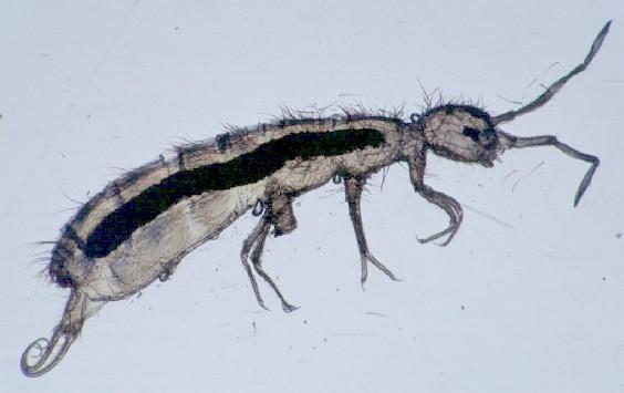 Collembola_Entomobryidae_Springtail