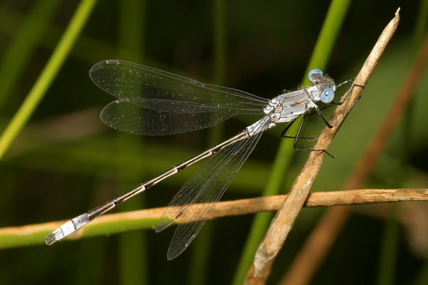 Odonata_Lestidae_Common spreadwing damselfly