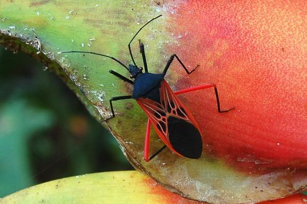 Hemiptera_Coreidae_Squash bug