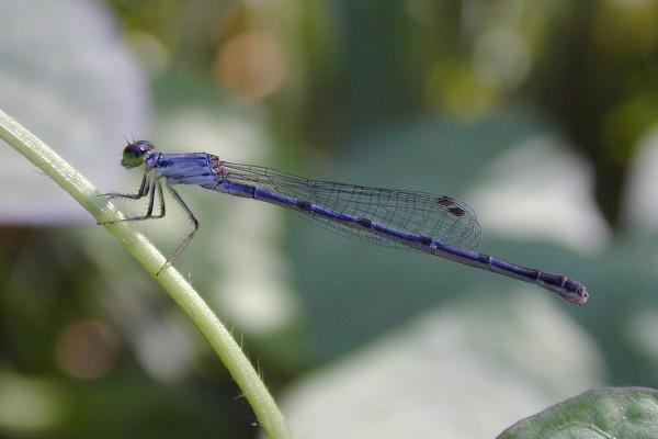Odonata_Coenagrionidae_Bluet damselfly