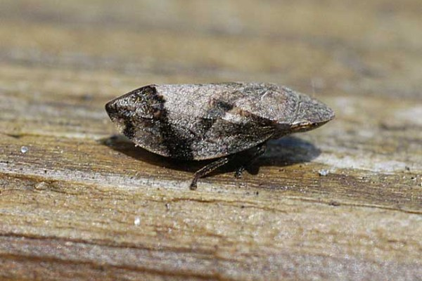 Hemiptera_Cercopidae_Diamond backed spittlebug