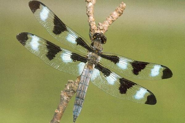 Odonata_Libellulidae_Twelve-spotted?skimmer dragonfly