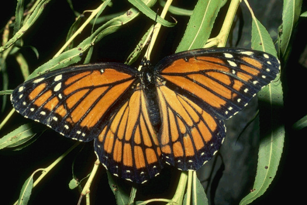 Lepidoptera_Nymphalidae_Viceroy butterfly