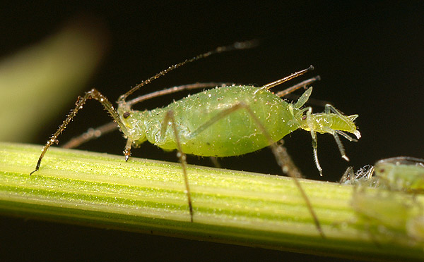 An aphid giving birth to live young