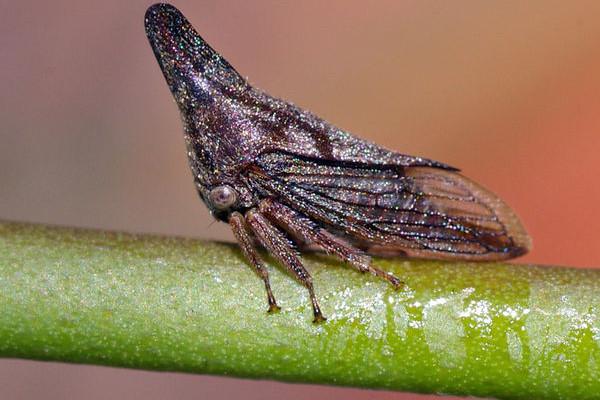 Homoptera_Membracidae_Treehopper