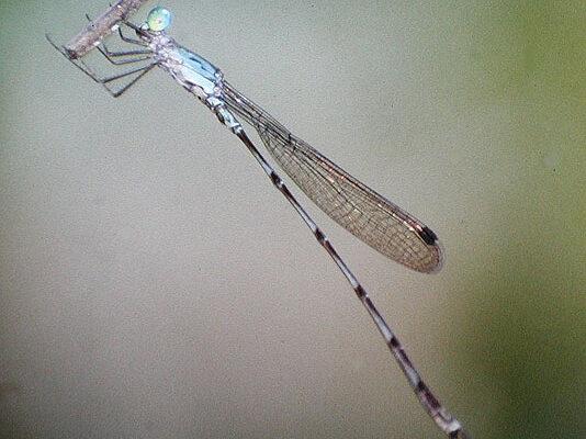 Odonata_Coenagrionidae_Narrow-winged damselfly