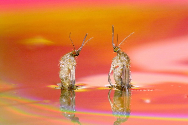 Diptera_Culicidae_Mosquito emergence