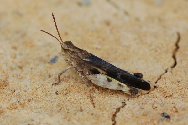 Orthoptera_Acrididae_Grasshopper