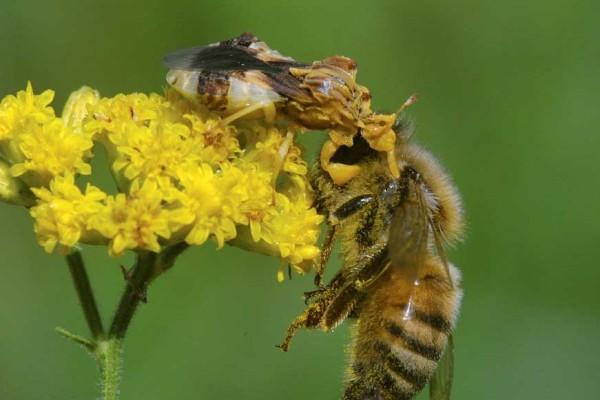 Heteroptera_Reduviidae_Ambush Bug