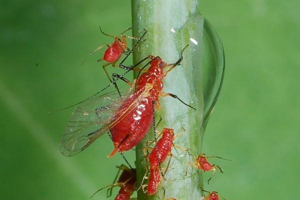 Hemiptera_Aphidoidea_Aphids