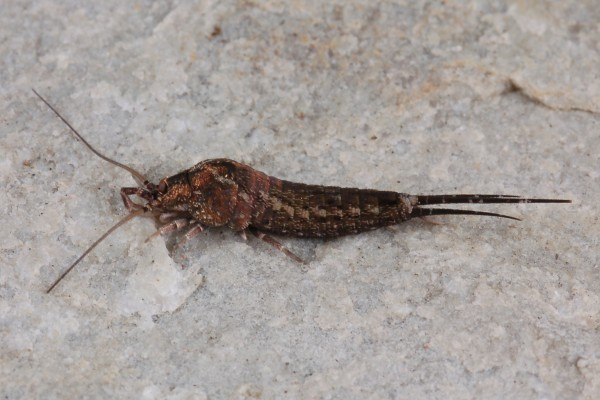 Archeognatha_None_Bristletail