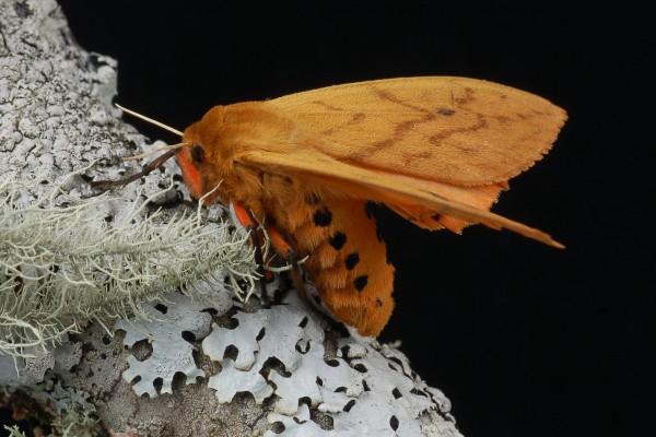 Lepidoptera_Arctiidae_Tiger moth