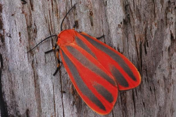 Lepidoptera_Arctiidae_Scarlet-winged Lichen Moth