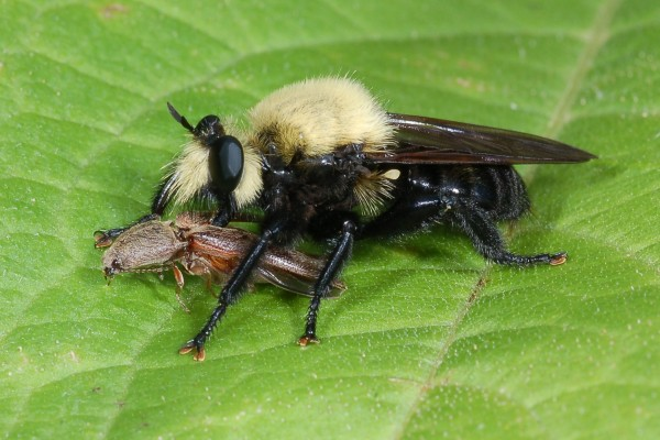 Diptera_Asilidae_Robber fly with prey