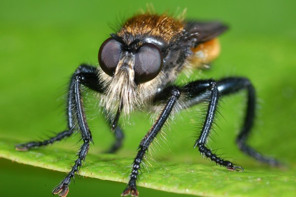 Diptera_Asilidae_Robber fly