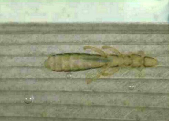 Phthiraptera_Menoponidae_Bird louse