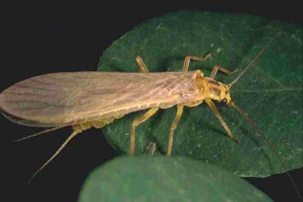 Plecoptera__Stonefly