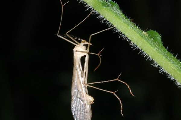 Mecoptera_Bittacidae_Hanging scorpionfly