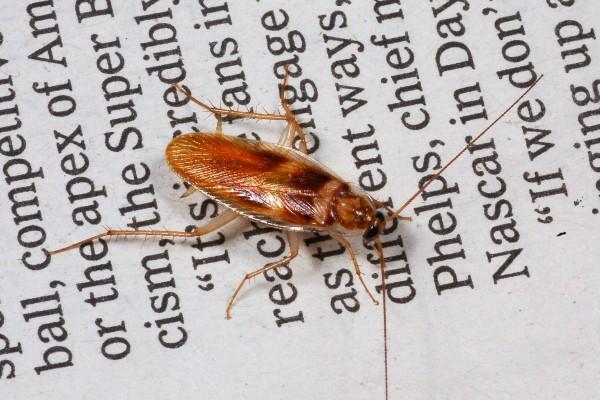 Blattodea_Blattellidae_Cockroach