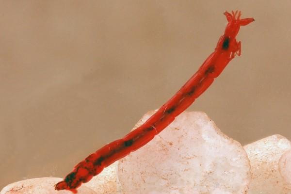 Diptera_Chironomidae_Bloodworm