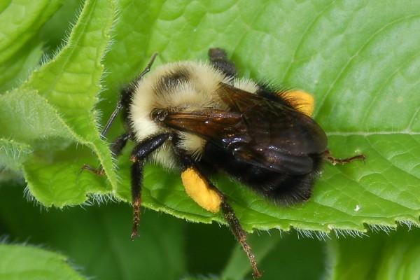 Hymenoptera_Apidae_Bumblebee