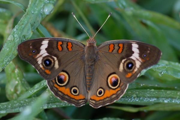Lepidoptera_Nymphalidae_Common Buckeye