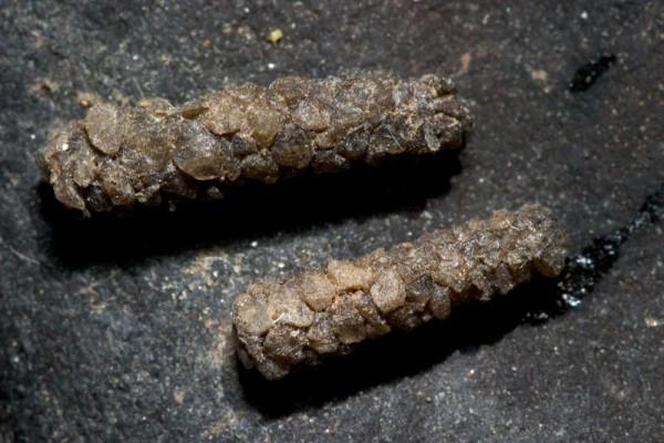 Trichoptera__Caddisfly larvae
