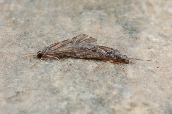 Trichoptera _Hydropsychidae_Caddisflies Mating