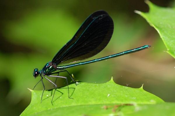 Odonata_Calopterygidae_Broad-winged damselfly