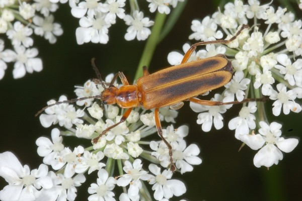 Coleoptera_Cantharidae_Soldier beetle