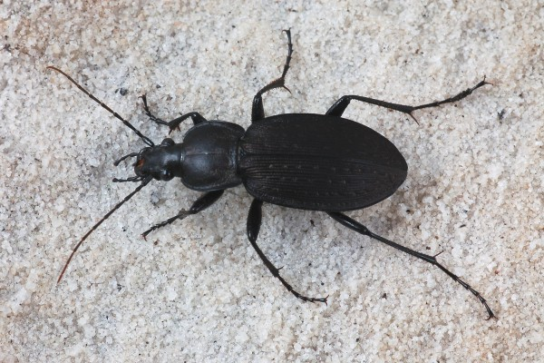 Coleoptera_Carabidae_Ground beetle