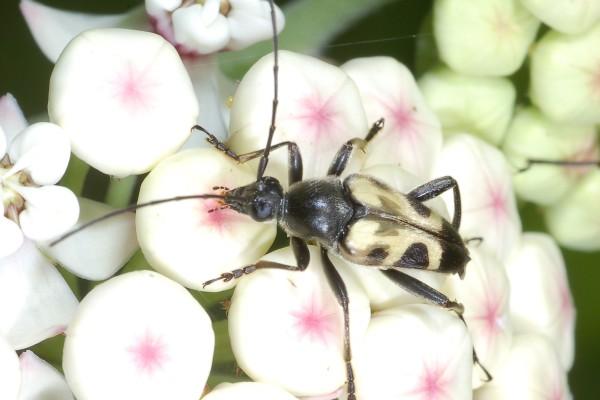 Coleoptera_Cerambycidae_Longhorned beetle