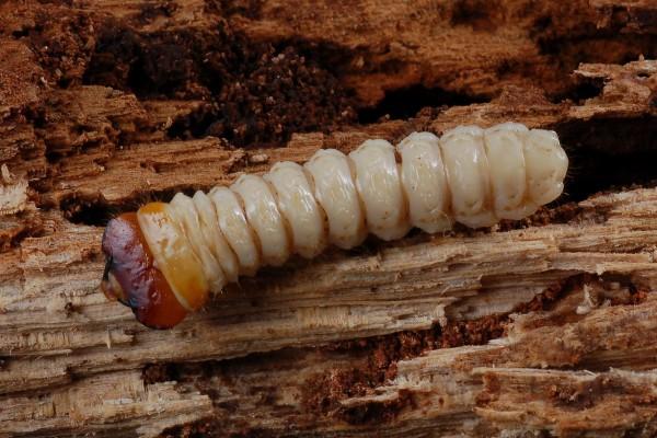 Coleoptera_Cerambycidae_Cerambycid larva
