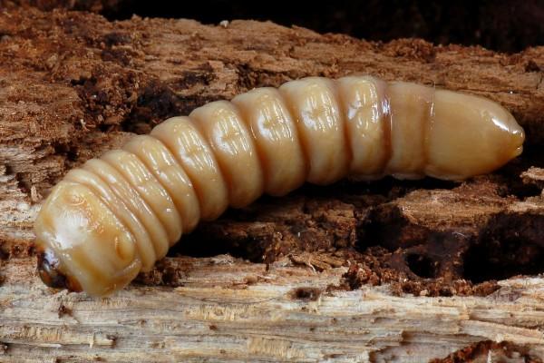 Coleoptera_Cerambycidae_Longhorned beetle larva