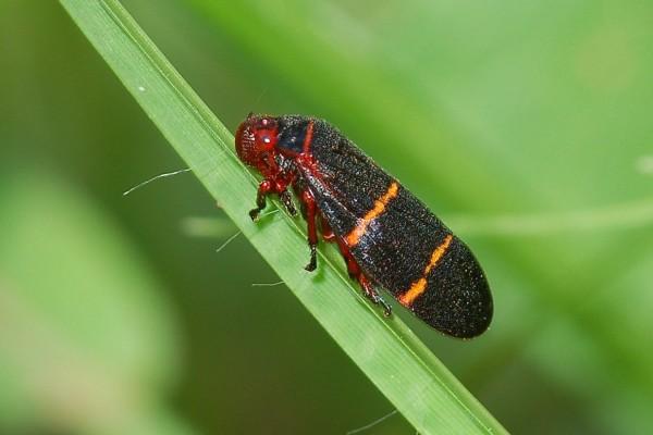 Hemiptera_Cercopidae_Twolined spittlebug