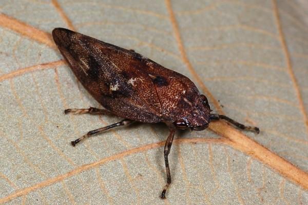 Hemiptera_Cercopidae_Froghopper, Spittlebug