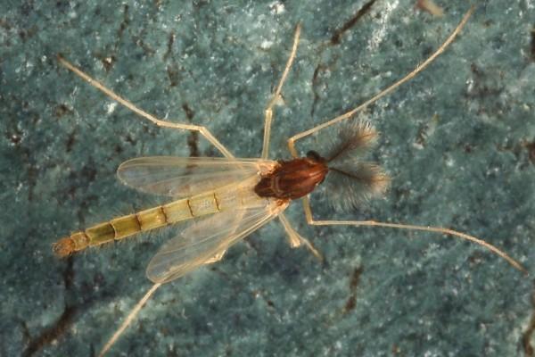 Diptera_Chironomidae_Midge