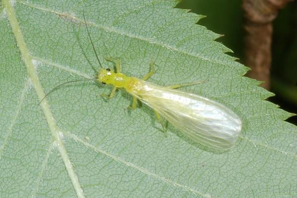 Plecoptera_Chloroperlidae_Stonefly