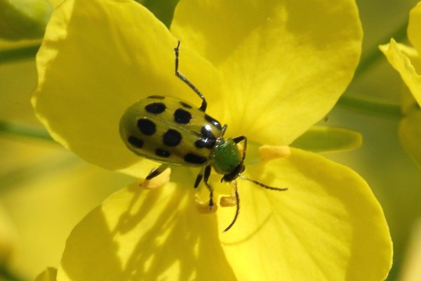 also known as spotted cucumber beetle