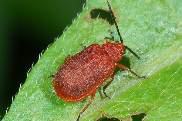 Coleoptera_Chrysomelidae_