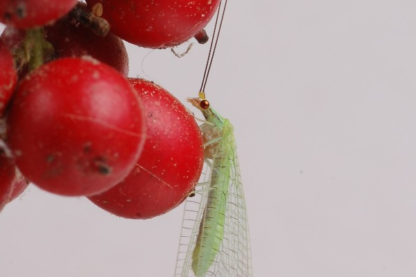 Neuroptera_Chrysopidae_Green lacewing