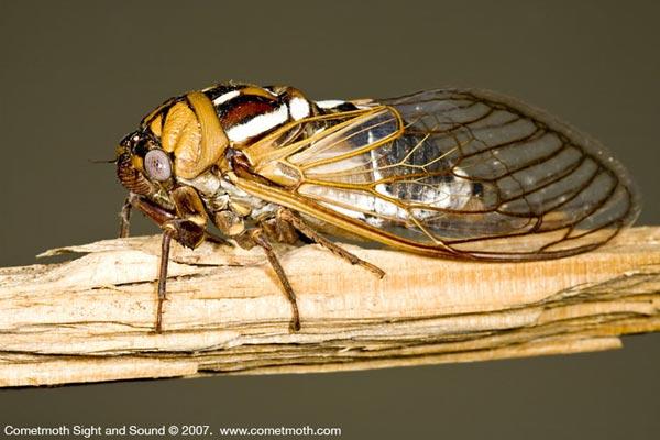 Homoptera_Cicadidae_Cicada